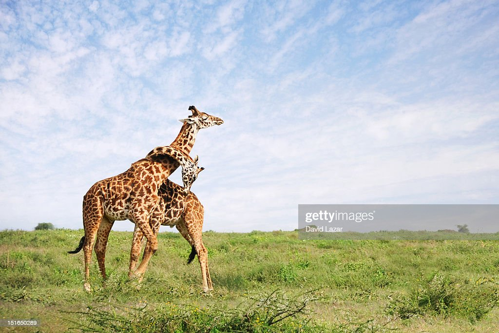 Giraffe embrace : Stock Photo