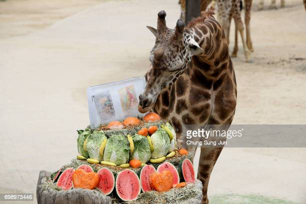 A giraffe enjoy special icy fruits given by zoo keepers during the summer season to get by the heat at the Everland Amusement Park on June 21 2017 in...