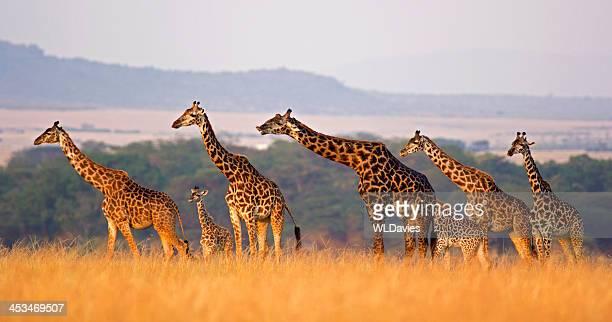 Girafa Família