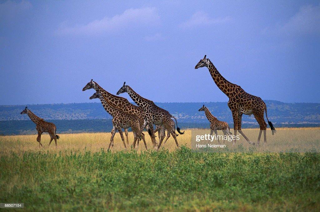 Giraffe family walking across green grass savannah : Stock Photo
