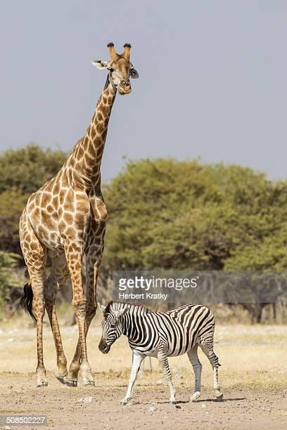 Giraffe -Giraffa camelopardalis- and Burchell's zebra -Equus quagga-, Etosha National Park, Namibia, Africa