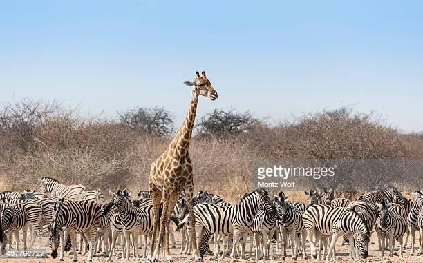 Giraffe -Giraffa camelopardis- and herd of Burchell's Zebras -Equus quagga burchellii- at the Tsumcor water hole, Etosha National Park, Namibia