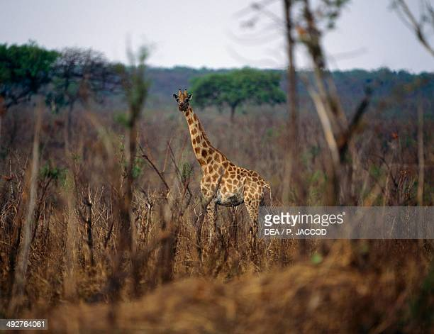 Giraffe Giraffidae Democratic Republic of the Congo