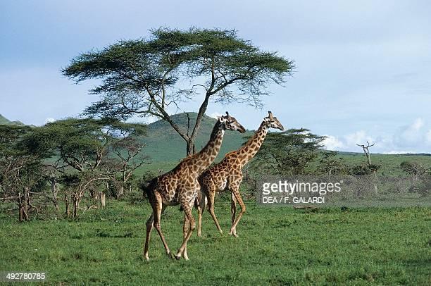 Giraffe Giraffidae Serengeti National Park Tanzania