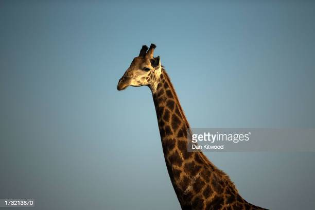 Giraffe graze in Krugar National Park on July 7 2013 in Lower Sabie South Africa The Kruger National Park was established in 1898 and is South...