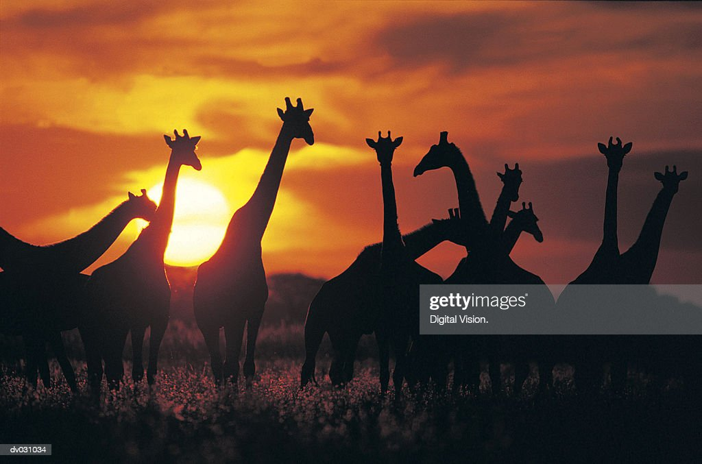 Giraffe herd in silhouette against sunset (Giraffa camelopardalis), Botswana, South Africa : Stock Photo