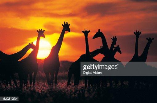 Giraffe herd in silhouette against sunset (Giraffa camelopardalis), Botswana, South Africa