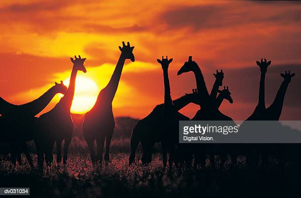 Giraffe herd in silhouette against sunset (Giraffa camelopardalis), Botswana, South Africa