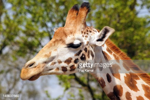 Giraffe in close up : Stock Photo