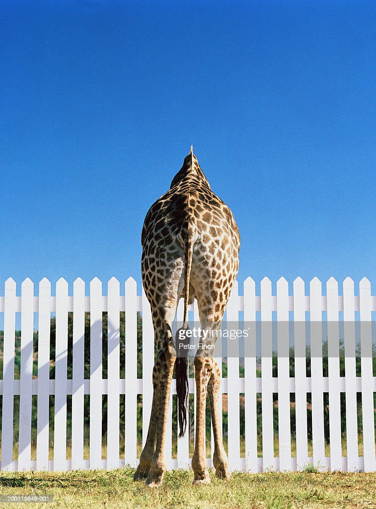 Giraffe (Giraffa camelopardalis) in front of picket fence, rear view : Stock Photo