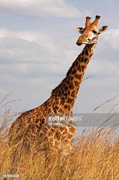 Giraffe in high grass