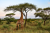 Giraffe eating leaves from a tree in Kruger National Park, South Africa