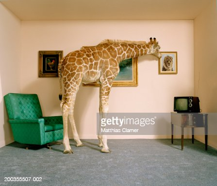 Giraffe in living room looking at picture of lion on wall