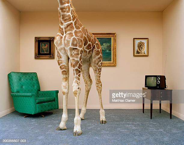 Giraffe in living room, low section