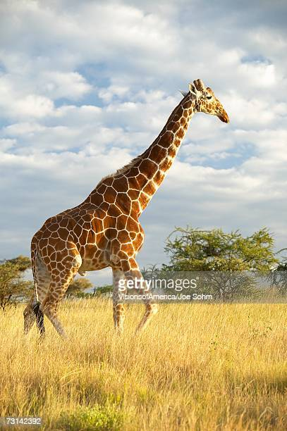 Giraffe in sunset light at Lewa Conservancy, Kenya, Africa