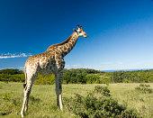 Giraffe in the bush