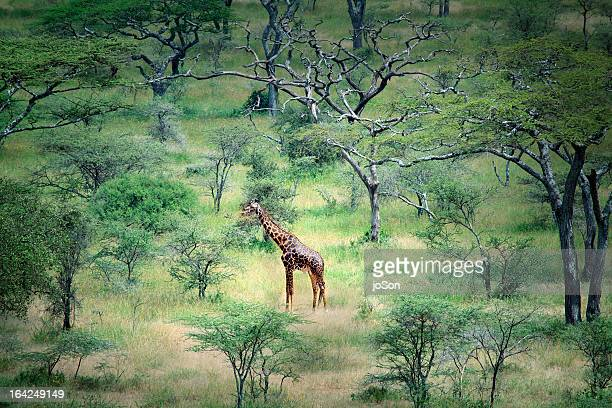 Giraffe in the Serenget in National Park