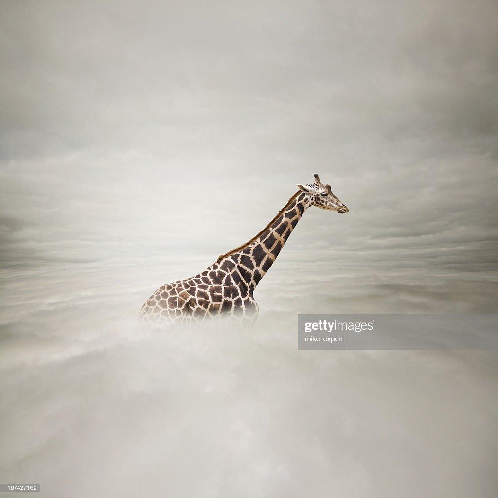 giraffe in the sky : Stock Photo
