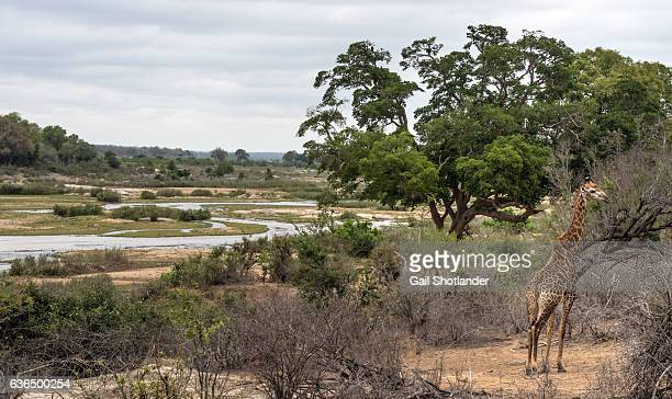 Giraffe in the South African Landscape