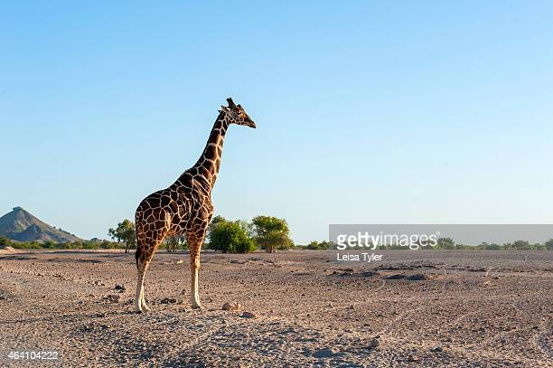 Giraffe in the wildlife park on Sir Bani Yas an island in the Persian Gulf The once private retreat of the United Arab Emirates founder the former...