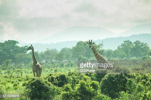 Giraffa nella natura selvaggia