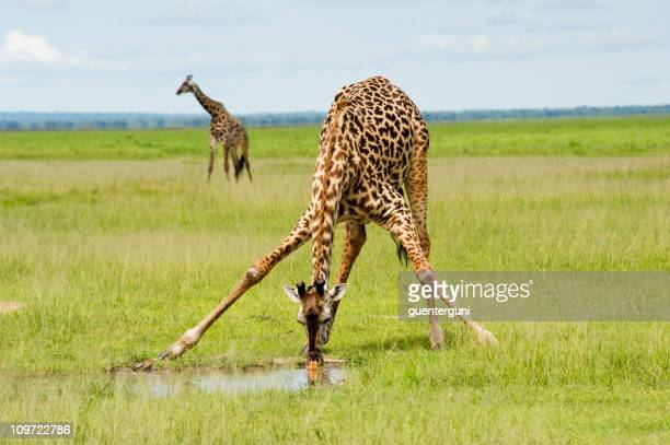 A giraffe is drinking water and one is standing by