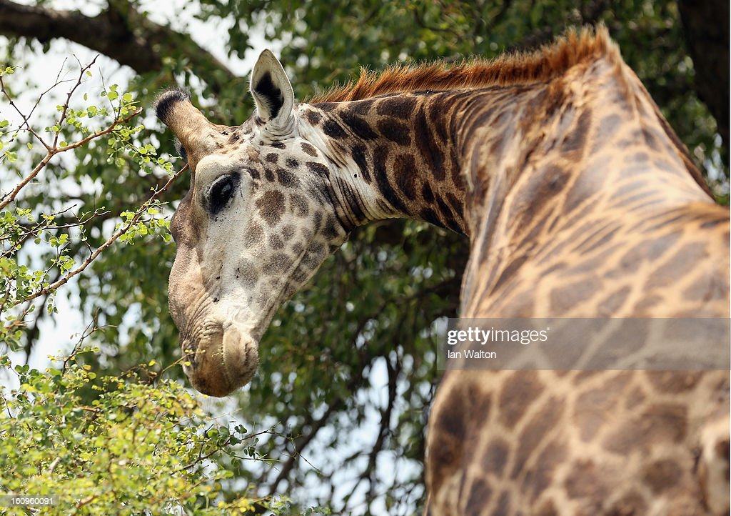 A giraffe is pictured in Kruger National Park on February 6, 2013 in Skukuza, South Africa.