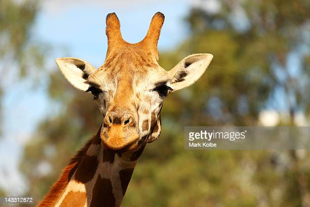 A giraffe is seen at Taronga Western Plains Zoo on April 20 2012 in Dubbo Australia The popular 35 year old Dubbo zoo is set in 3 square km of...