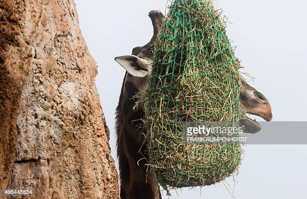 A giraffe is seen behind its meal a net of hay hanging from a tree at the OpelZoo in Kronberg near Frankfurt am Main western Germany on November 3...