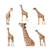 Giraffe isolated on a white background collection, pack or set. Views of the profile or side, walking away with back view, coming, feeding and a close up of the stretched neck and head.