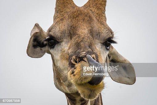 Giraffe licking : Stock Photo