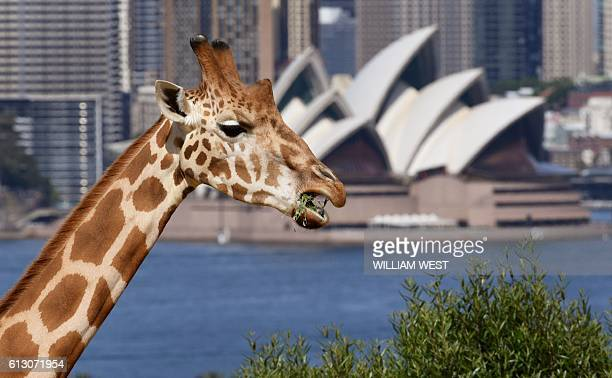 A giraffe looks out towards the Sydney Opera House from it's enclosure at Taronga Zoo on October 5 2016 The Zoo celebrates it's 100th birthday / AFP...