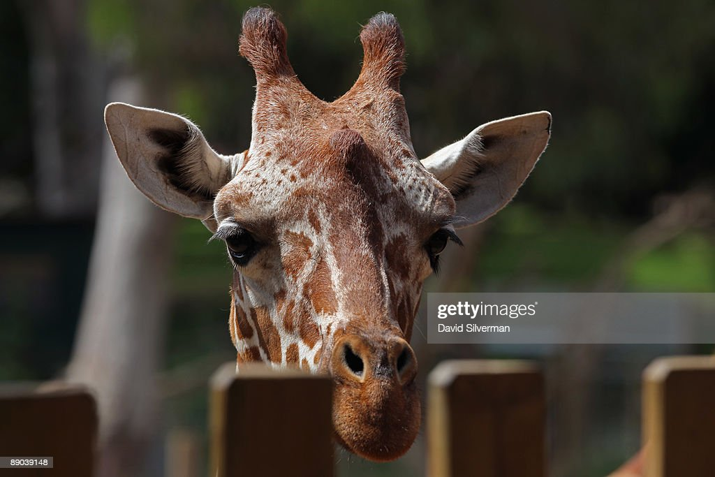 A giraffe looks over the fence at the Safari Park zoo as the zoo introduces a five-day-old baby giraffe (unseen) on July 15, 2009 in Ramat Gan, Israel. The still unnamed female calf is twenty-year-old Denisa's eleventh offspring, which zoo officials say is a world record for a giraffe in captivity.