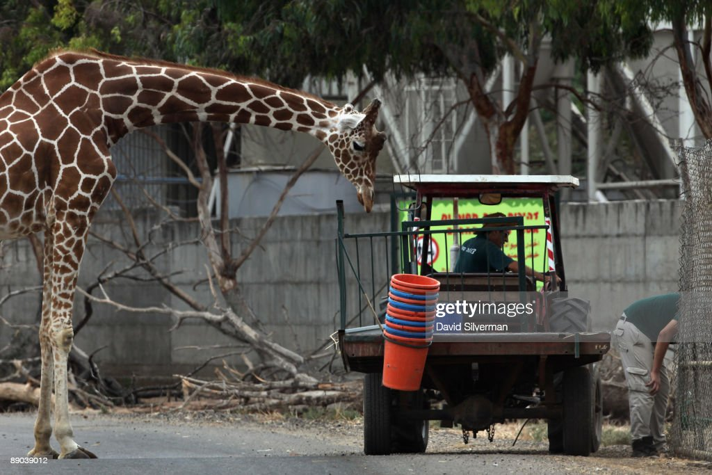 A giraffe looks to take a snack from a service vehicle in its compund at the Safari Park on July 15, 2009 in Ramat Gan, Israel.