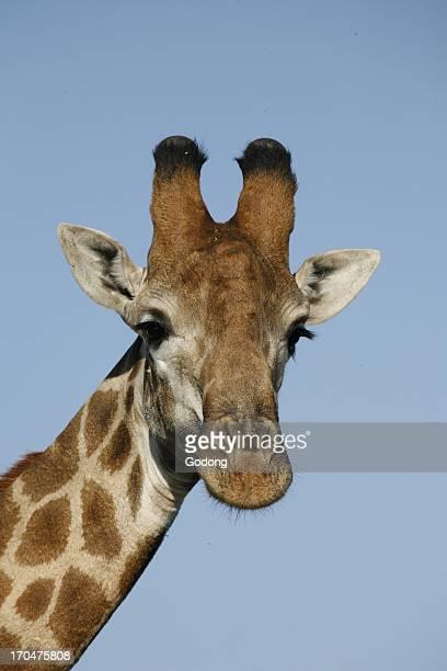 Giraffe Madikwe South Africa