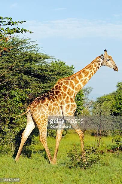 Giraffe (Giraffa camelopardalis), Moremi National Park, Okavango Delta, Botswana, Africa