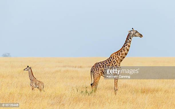Giraffe Mother and Calf, Serengeti National Park, Tanzania Africa