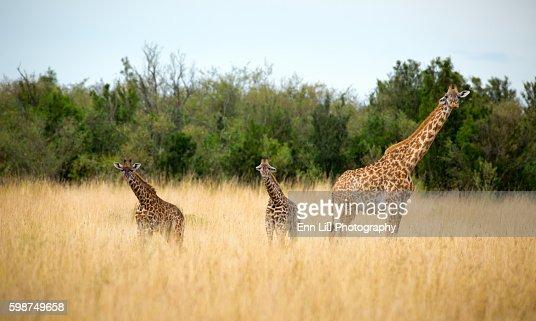 Giraffe mother and her calves in savannah