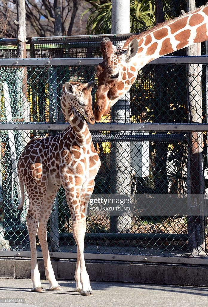 A giraffe (R) nurses a one-month-old baby giraffe at Tokyo's Tama Zoo on February 9, 2013. The female baby giraffe was born on January 4 and can now be seen by the public on sunny days. AFP PHOTO / Yoshikazu TSUNO