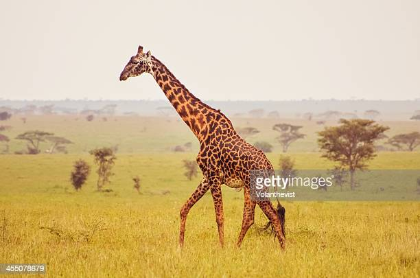 giraffe on a misty morning in The Serengeti