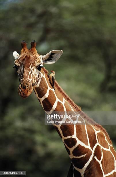 Giraffe (Giraffa camelopardalis) on plain