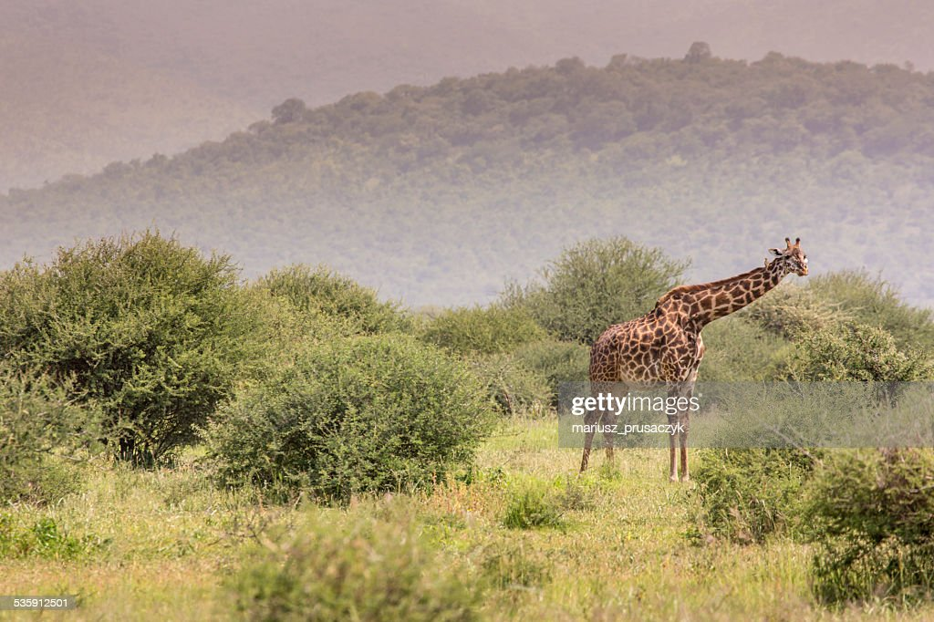 Girafa no safari selvagem conduzir, Quénia. : Foto de stock
