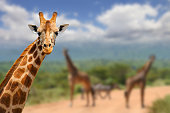 Giraffe on savannah in Africa, National park of Kenya
