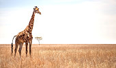 Giraffe on African landscape with Acacia tree in the background.