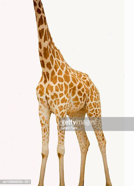 Giraffe on white background, low section