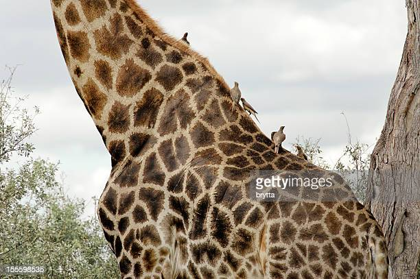 Giraffe pattern and grooming birds in African nature