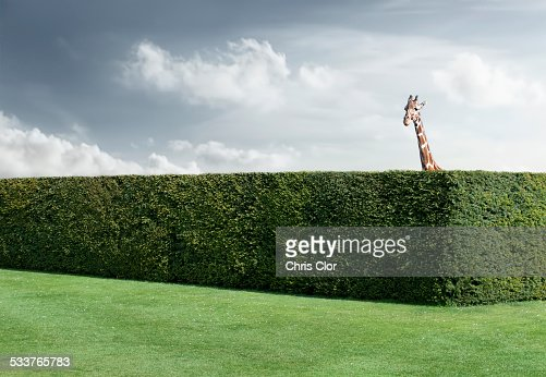 Giraffe peering over neatly trimmed hedges
