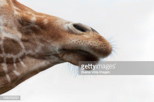 Giraffe (Giraffa camelopardalis) : Stock Photo