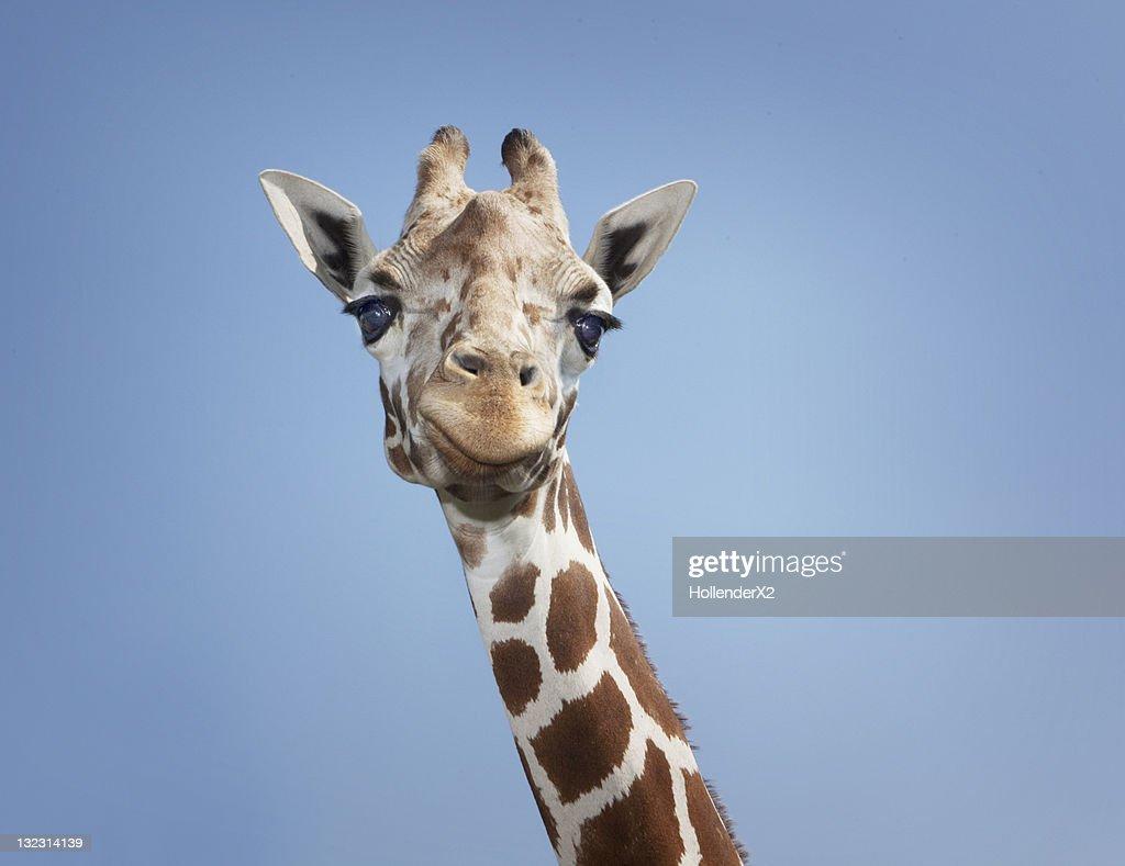 Giraffe : Stock Photo
