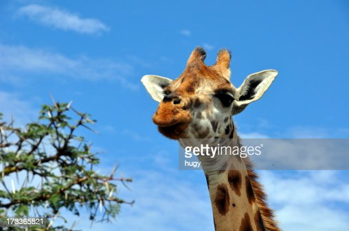 Giraffe : Stock Photo